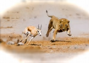lion and gazelle photo
